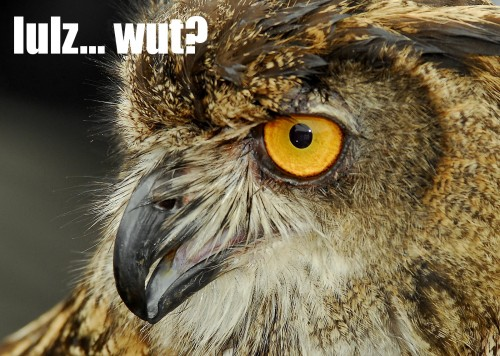 owl lulzwut 500x356 lolowlz Humor forum fodder Cute As Hell Animals