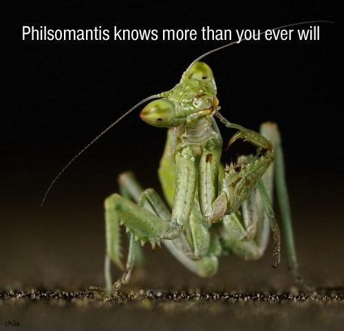 Philsomantis.jpg (64 KB)